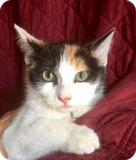 Domestic Shorthair Kitten for adoption in Irvine, California - JILL