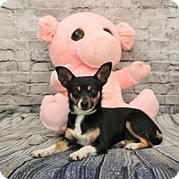 Adopt A Pet :: Miss Piggy - Yucaipa, CA
