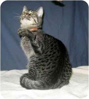 Domestic Shorthair Kitten for adoption in Powell, Ohio - Whisper