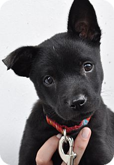 Basenji/Chihuahua Mix Puppy for adoption in Atlanta, Georgia - Gidget