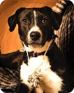 Labrador Retriever/Great Dane Mix Dog for adoption in Pocahontas, Arkansas - Jackie