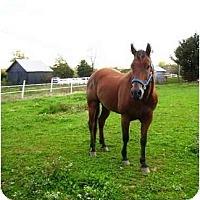Adopt A Pet :: Cowboys Wonder Otoe - Old Fort, NC