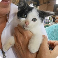 Adopt A Pet :: Dumbledore - Reston, VA
