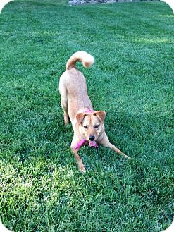 Chow Chow/German Shepherd Dog Mix Dog for adoption in Hewitt, New Jersey - Ruby - ON HOLD - NO MORE APPLICATIONS!