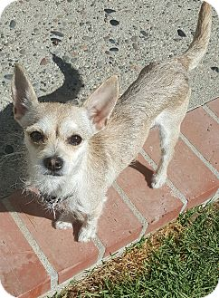 Terrier (Unknown Type, Small)/Chihuahua Mix Dog for adoption in Los Angeles, California - HANNAH