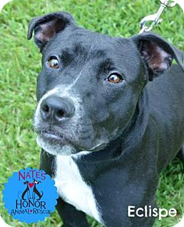 American Bulldog Mix Dog for adoption in Bradenton, Florida - Eclipse