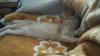 Domestic Shorthair Kitten for adoption in Corydon, Indiana - Peabody