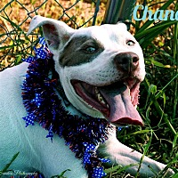Adopt A Pet :: Chance - Columbia, TN