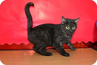Domestic Shorthair Cat for adoption in North Judson, Indiana - Princess Leah