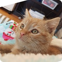 Adopt A Pet :: Orion - St. Louis, MO