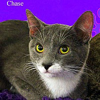 Adopt A Pet :: Chase - Monrovia, CA