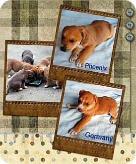 Labrador Retriever/Shepherd (Unknown Type) Mix Puppy for adoption in Quinlan, Texas - Tucson's Puppies (Boys)