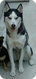 Husky Mix Dog for adoption in Dana Point, California - URGENT - Everest