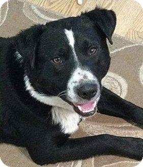 Border Collie/American Staffordshire Terrier Mix Dog for adoption in Regina, Saskatchewan - Snoop