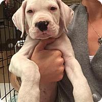 Adopt A Pet :: Hulk - Royal Palm Beach, FL