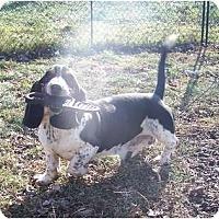 Adopt A Pet :: Fred HANDSOME HOUND - Antioch, IL