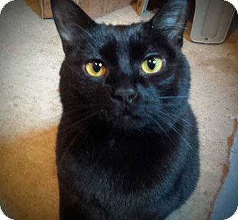 Domestic Shorthair Cat for adoption in Manitowoc, Wisconsin - Chuck