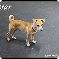Adopt A Pet :: Caesar - Rockwall, TX