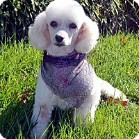 Adopt A Pet :: Blanch - Bridgeton, MO