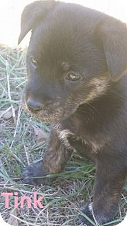 Australian Cattle Dog Mix Puppy for adoption in Augusta, Maine - Tink