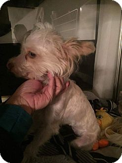Poodle (Miniature)/Maltese Mix Puppy for adoption in Weatherford, Texas - Curry