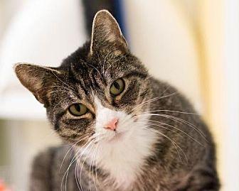 Domestic Shorthair Cat for adoption in Fargo, North Dakota - Whiskas