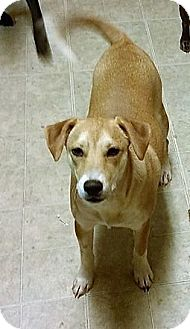Beagle/Terrier (Unknown Type, Small) Mix Dog for adoption in Wichita Falls, Texas - Cole