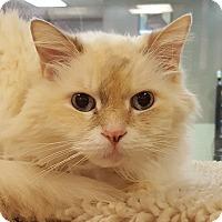 Adopt A Pet :: Snowy - Grayslake, IL