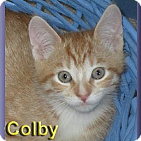 Domestic Shorthair Kitten for adoption in Aldie, Virginia - Colby