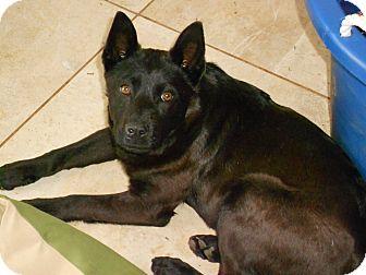 Shepherd (Unknown Type)/Labrador Retriever Mix Dog for adoption in Raleigh, North Carolina - GRADY