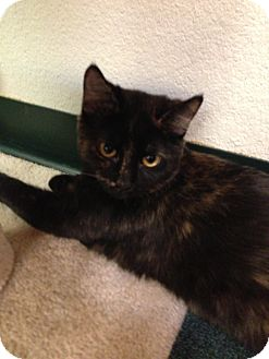 Domestic Shorthair Kitten for adoption in Fountain Hills, Arizona - CALLIOPE