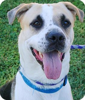 Shepherd (Unknown Type)/Hound (Unknown Type) Mix Dog for adoption in Red Bluff, California - Bear