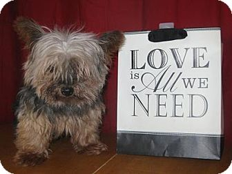 Yorkie, Yorkshire Terrier Dog for adoption in Prole, Iowa - Cocoa