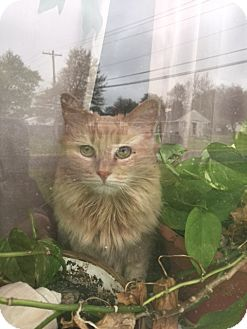 Maine Coon Cat for adoption in Absecon, New Jersey - Rose Courtesy Post