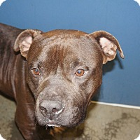 Pit Bull Terrier Mix Dog for adoption in Henderson, North Carolina - Chief (HW Neg)**