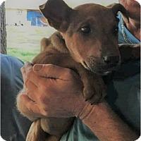 Adopt A Pet :: Rusty - Bernardston, MA
