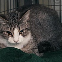 Adopt A Pet :: Cressida - Grand Ledge, MI