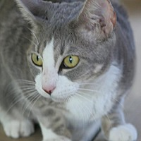 Adopt A Pet :: Shirley - North Fort Myers, FL