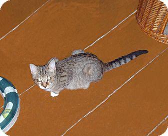 Domestic Shorthair Kitten for adoption in Hampton, Connecticut - Peaches