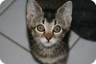 Abyssinian Kitten for adoption in Arlington, Virginia - Alvina