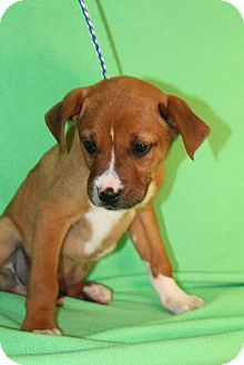 Boxer Mix Puppy for adoption in Broomfield, Colorado - Larry
