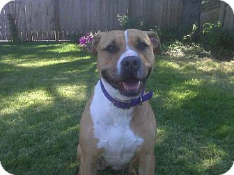 Boxer/Pit Bull Terrier Mix Dog for adoption in Issaquah, Washington - Pretty Pretty Princess
