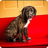 Adopt A Pet :: Bree Bree - Owensboro, KY