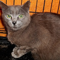 Domestic Shorthair Cat for adoption in Chattanooga, Tennessee - Blue Star