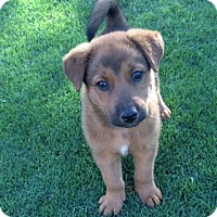 Adopt A Pet :: Cinder - Scottsdale, AZ