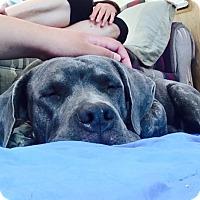 Adopt A Pet :: Roxas - Los Angeles, CA