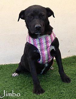 Labrador Retriever Mix Puppy for adoption in San Diego, California - Jimbo