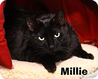 Domestic Shorthair Cat for adoption in Oakland, New Jersey - Millie