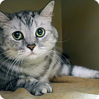 Domestic Shorthair Cat for adoption in Bellevue, Washington - Touches