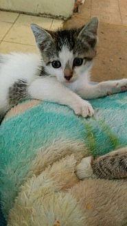 Turkish Van Kitten for adoption in Cerritos, California - Dora